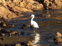 白鹭岩石海岸线 免版税库存照片