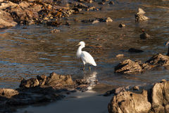 白鹭岩石海岸线 免版税图库摄影