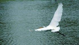 白鹭巨大白色 免版税库存图片