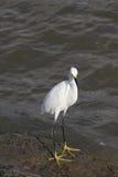 白鹭巨大白色 免版税图库摄影