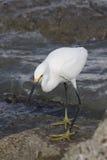 白鹭巨大白色 免版税库存照片