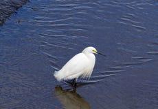 白鹭探索的沼泽地 库存图片