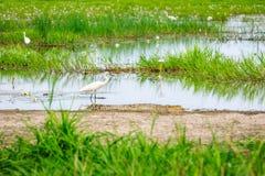 白鹭未察觉对附近鳄鱼在Corroboree沼泽地 免版税图库摄影