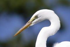白鹭极大的佛罗里达 库存图片