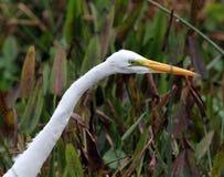 白鹭极大的狩猎 图库摄影