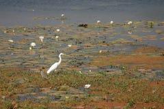 白鹭池塘 库存图片