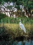 白鹭沼泽 库存照片