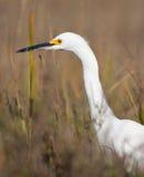 白鹭狩猎 免版税库存图片