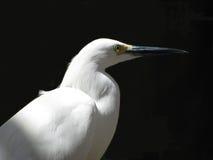 白鹭白色 库存图片