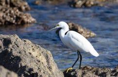 白鹭白鹭属thula为在海洋的岩石岸的食物休息&搜寻在墨西哥 免版税库存图片
