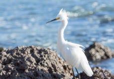 白鹭白鹭属thula为在海洋的岩石岸的食物休息&搜寻在墨西哥 免版税库存照片