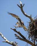 白鹭的羽毛到断枝的土地 库存图片