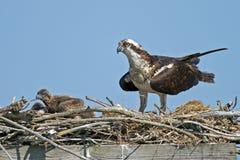 白鹭的羽毛和小鸡 免版税库存照片