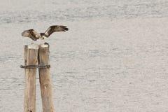 白鹭的羽毛和牺牲者 库存图片