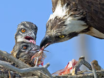 白鹭的羽毛哺养的小鸡 免版税库存图片