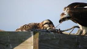 白鹭的羽毛哺养的小鸡 股票视频