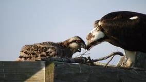 白鹭的羽毛哺养的小鸡 股票录像