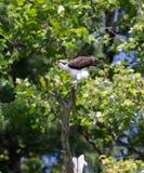 白鹭的羽毛在俄亥俄Pooping 免版税库存照片