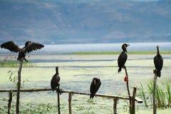 白鹭的羽毛在大理洱海 库存照片