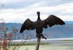 白鹭的羽毛在大理洱海 图库摄影