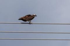 白鹭的羽毛在导线的Pandion haliaetus 免版税图库摄影