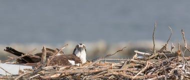 白鹭的羽毛在巢的Pandion haliaetus在开普梅, NJ 库存图片