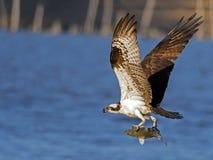 白鹭的羽毛在飞行中与鱼 免版税库存图片