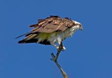 白鹭的羽毛坐分支 库存图片