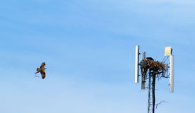 白鹭的羽毛大厦巢 免版税库存照片