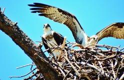白鹭的羽毛嵌套 库存照片