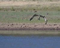 白鹭的羽毛抓了一条鱼 图库摄影