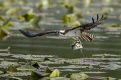 白鹭的羽毛抓了一条鱼 免版税库存照片