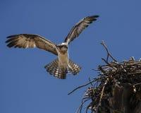 白鹭的羽毛接近的巢 库存图片