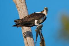 白鹭的羽毛有鱼的海鹰在树 库存照片
