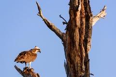 白鹭的羽毛海鹰 图库摄影