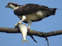 白鹭的羽毛的抓住 免版税库存照片