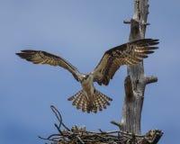 白鹭的羽毛盘旋了在巢 免版税库存图片