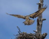 白鹭的羽毛盘旋了在巢 库存照片