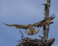 白鹭的羽毛盘旋了在巢 免版税库存照片