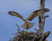 白鹭的羽毛盘旋了在巢 图库摄影