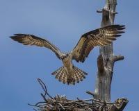 白鹭的羽毛盘旋了在巢 库存图片
