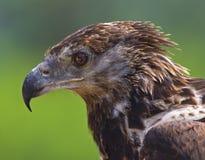 白鹭的羽毛纵向 免版税库存图片