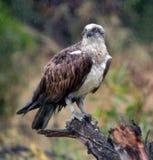 白鹭的羽毛雨 库存照片