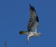 白鹭的羽毛飞行中以后离开 免版税库存照片