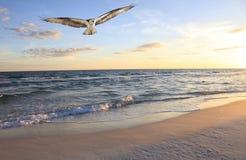 白鹭的羽毛飞行从日出的海洋 库存照片
