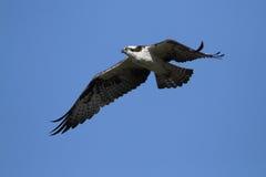白鹭的羽毛飞行 免版税图库摄影