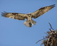 白鹭的羽毛高昂天花板 免版税库存照片
