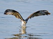 白鹭的羽毛鱼劫掠 库存图片