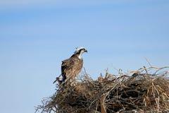 白鹭的羽毛, Pandion haliaetus,鸟,下加利福尼亚州,墨西哥 库存照片