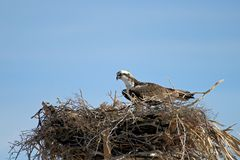 白鹭的羽毛, Pandion haliaetus,鸟,下加利福尼亚州,墨西哥 图库摄影